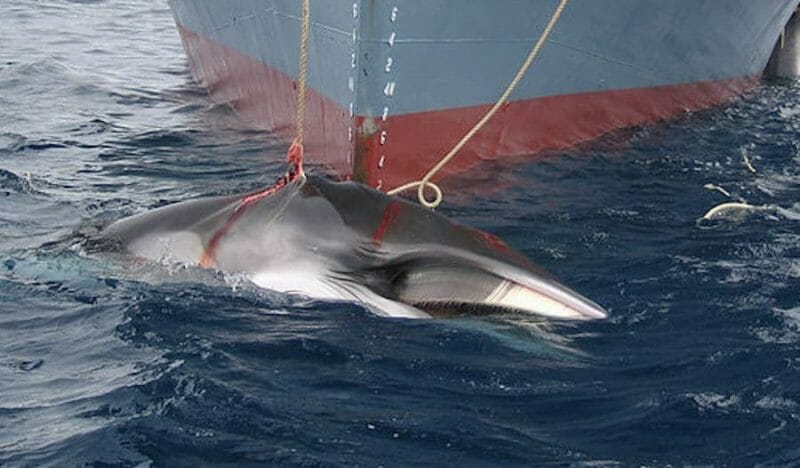 Japan Has Brought Back Cruel and Deadly Commercial Whaling