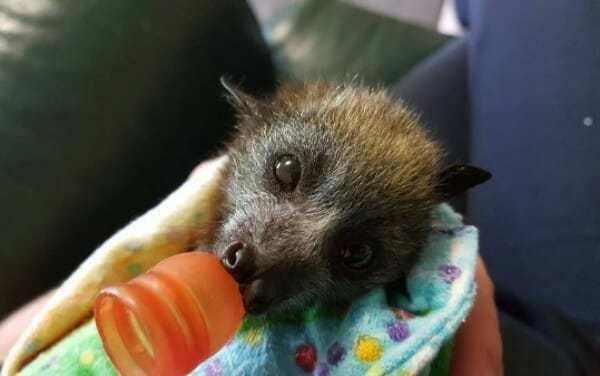 Video: Orphaned Baby Bats Receive Specialized Care