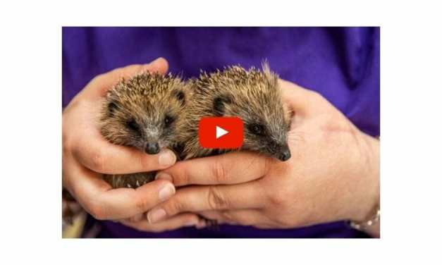 VIDEO: Over 30 Beautiful Hedgehogs Saved From Drowning in Scottish Flood
