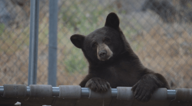 PETITION UPDATE: Sweet Black Bear Cub Is Now Safe At Wildlife Center