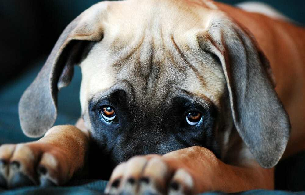 Where Do Those Irresistible Puppy Dog Eyes Come From?