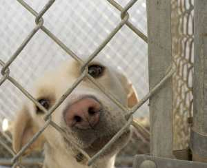 Dog gazes out from chain-link kennel