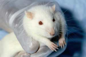 Researchers holds white rat