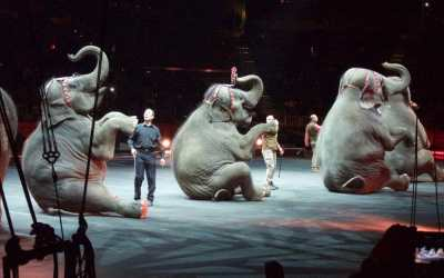 Three elephants sit as part of circus act