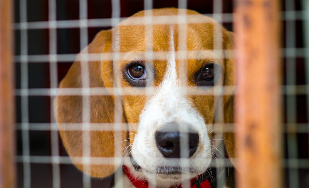 SIGN: Pass the 'Beagle Bill' So Ex-Laboratory Dogs Get Adopted, Not Killed