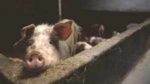 Pork slaughterhouses may become risky for pigs and workers alike