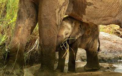baby elephant sheltered by adult elephant