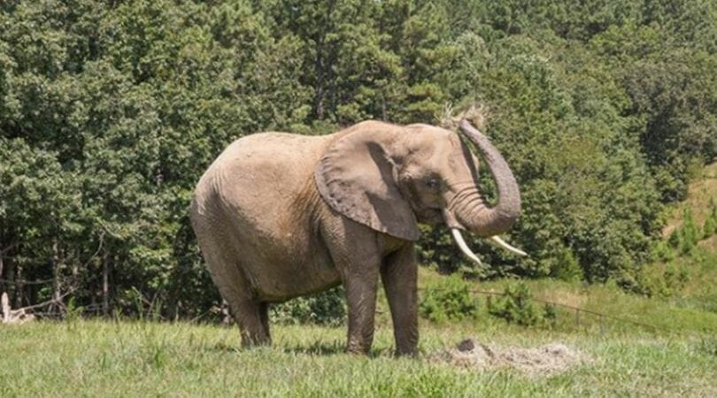 Circus Owner Who Abused Nosey the Elephant Has USDA License Revoked