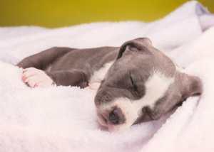 sleeping pit bull puppy
