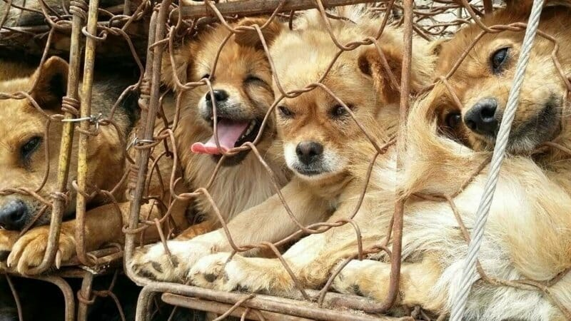 SIGN: Pass U.S. Resolution to Ban Dog And Cat Slaughter Around the World