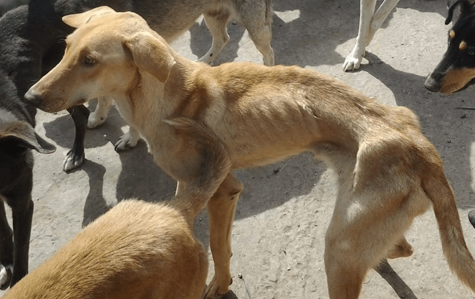 Dogs Still Starving and Dying in Horrific Moroccan Pound – Help Stop the Cruelty