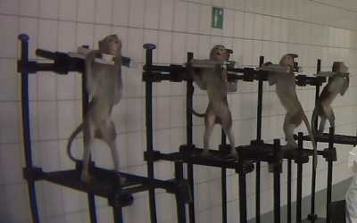 tortured monkeys