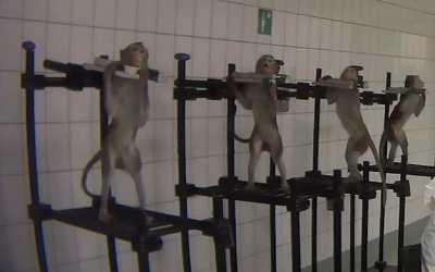 tortured monkeys