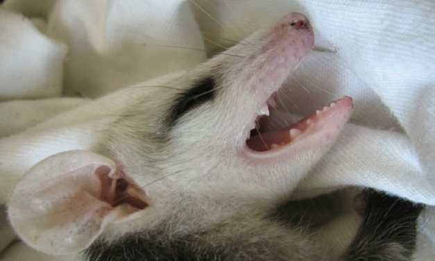 SIGN: Justice for Baby Possum Beaten with Golf Club Until She Was Blind