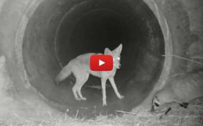 VIDEO: Coyote and Badger Playfully Cross Under California Highway Together