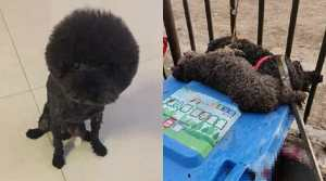 SIGN: Justice for Poodles Bludgeoned to Death by Officer in Coronavirus Scare