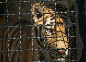 young tiger in a cage, close-up