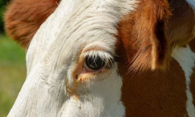 LFT Offers $2,000 Reward to Find Attacker Who Gunned Down Pregnant Cow