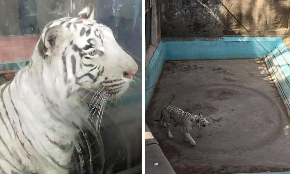 SIGN: Justice for Sad Tiger Walking Endless Circles in Beijing Zoo