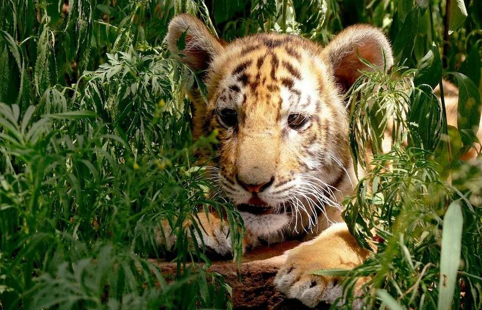 Virginia Bans Public Contact with Captive Big Cats, Monkeys and Other Exotic Animals