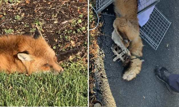 SIGN: Stop Setting Cruel, Deadly Traps for Innocent Foxes and Racoons