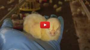 factory farm chick