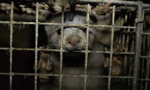 The Netherlands Permanently Shuts Down Mink Fur Farms