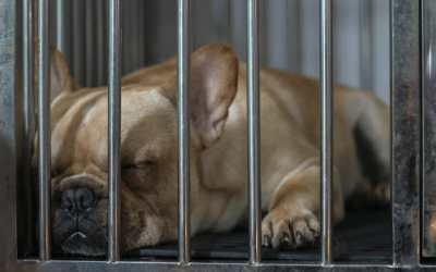 french bulldog in cage