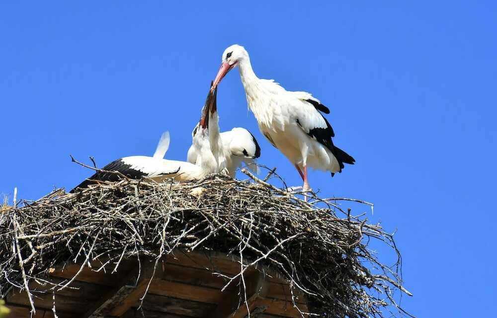 Wild White Stork Chicks Hatch for the First Time in Over 600 Years