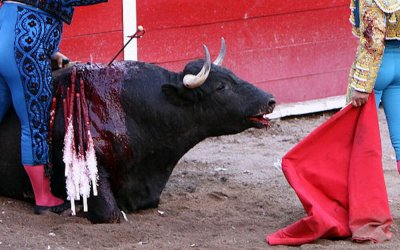 bullfight bull