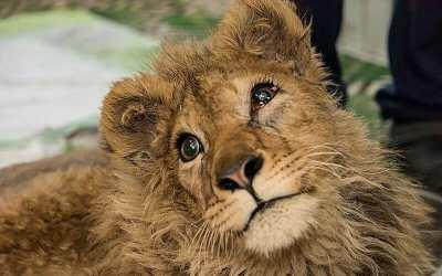 simba lion cub