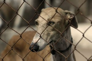 greyhound in cage