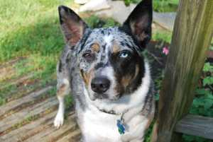 Content Australian cattle dog