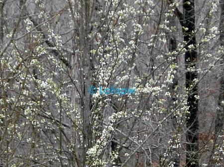 budding trees