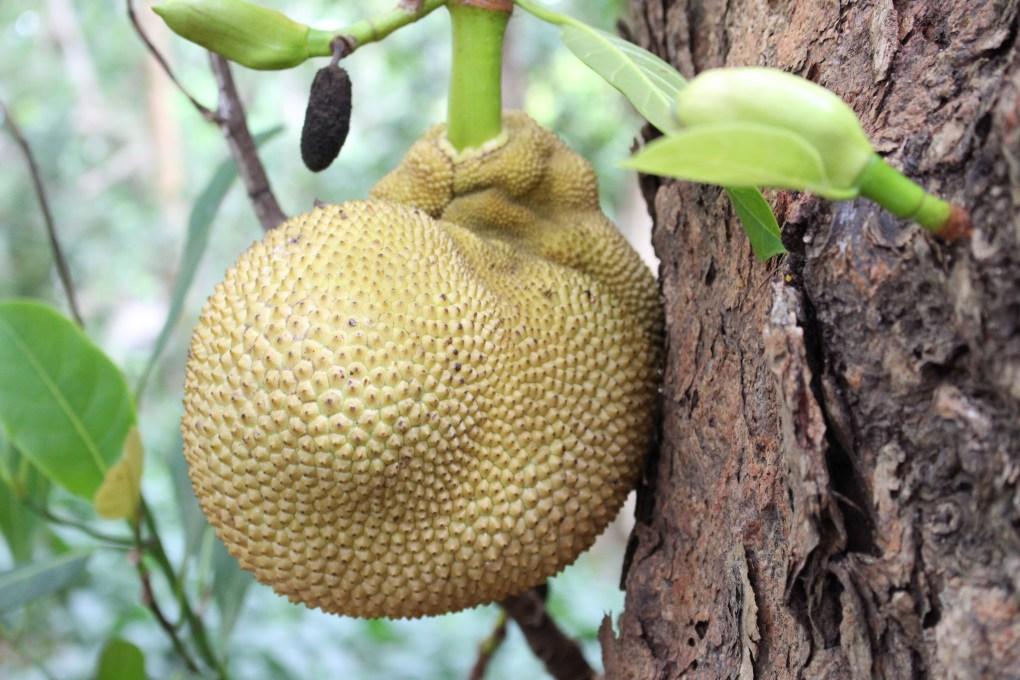 alt-nord-de-l'île-maurice-fleur-fruit-à-pain--arbre