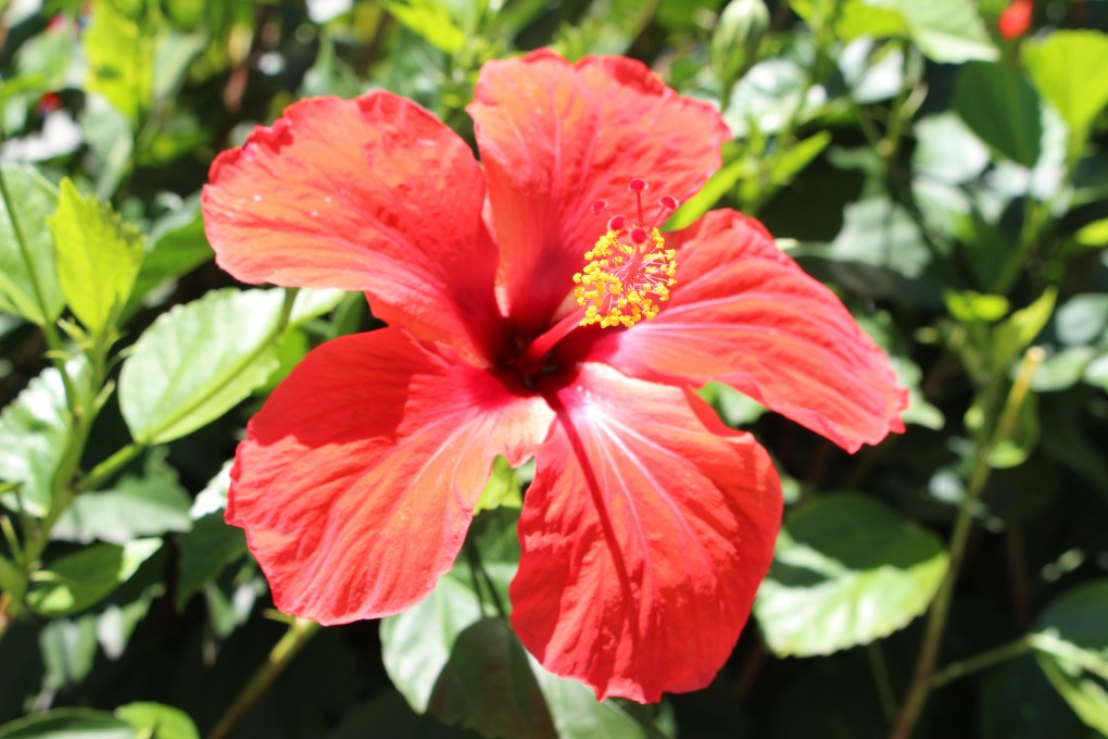 alt-fleur-hibiscus-hôtel-coin-de-mire-mauritius