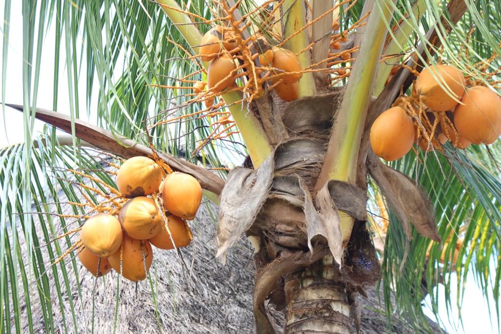 alt-palmier-coco-hôtel-coin-de-mire-mauritius