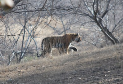 oh to see tigers in the wild!