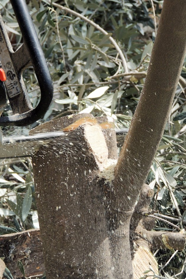 Grafting fruit trees might seem like an intimidating task that not many know how to do... This is a step by step picture tutorial for grafting fruit trees.
