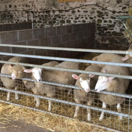 Sheep at Newgrange Farm
