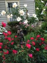 May Roses 2