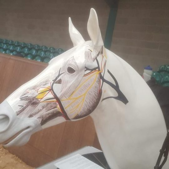 Nervous and circulatory systems on a horse head
