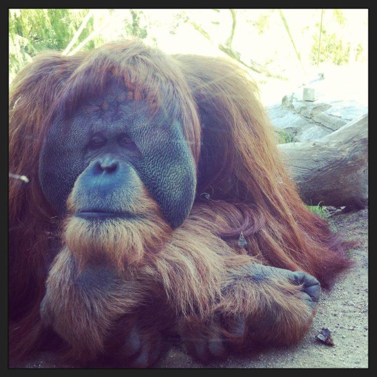 orangutan from SDZ