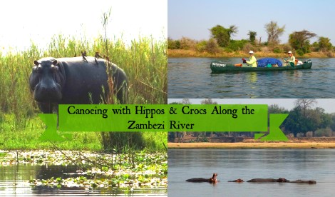 canoeing with hippos and crocs along the Zambezi river