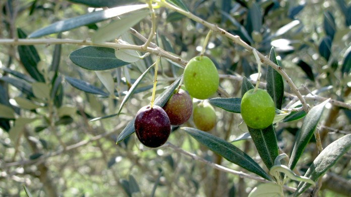 Olives in Tuscany