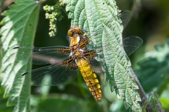 Broad-bodied Chaser (f)