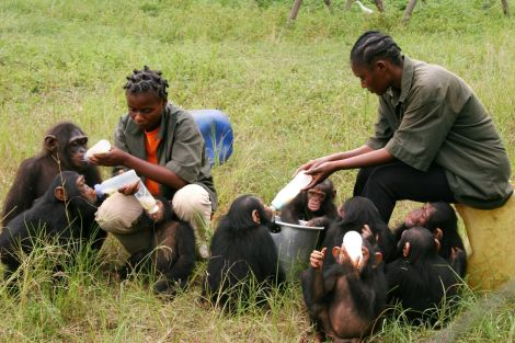 alimentando bebes chimpas tchimpounga- Instituto Jane Goodall- Movilízate por la selva
