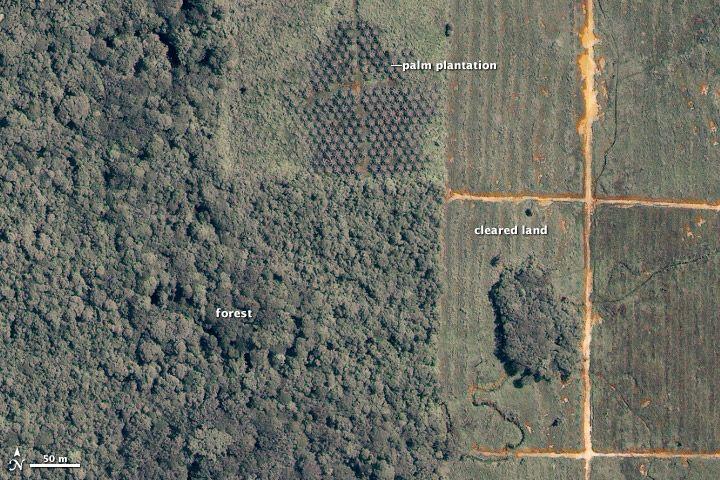 plantacion palma deforestacion