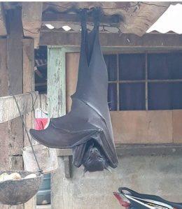 """Se viraliza la imagen de un murciélago """"de tamaño humano"""" encontrado en Filipinas"""