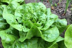 Kopfsalat im Ländchenlust-Garten